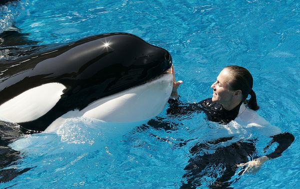 SeaWorld San Diego houses 10 orca whales in captivity. Photo credit: Barcroft/Fame Pictures
