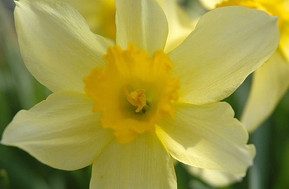Daffodil bulbs can poison your pet. Photo Credit: Kropsoq, Wikimedia Commons