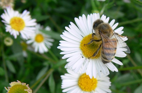 Daises contain natural pesticides. Photo Credit: Jessica Merz, Wikimedia Commons