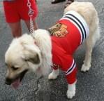 chicago blackhawks dog