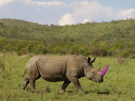 This photo has been digitally altered and is not an actual photo of a rhino at Sabi Sand. Photo Credit: Heinrich van den Berg/Getty