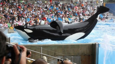 Orca suffers from a floppy dorsal fin, an abnormality that occurs more often in captivity than it does in the wild. Photo Credit: Cowperthwaite/Magnolia Pictures