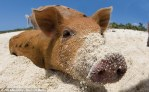 Swimming Pig Island Snout In The Sand Big Major Cay