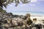 Swimming Pigs Lay On White Sands Of Island