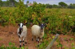 Sheep Vineyard