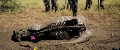 The carcass of a poached rhino at the Nwanetsi picnic site, in the Kruger National Park on April 9, 2013, in Satara camp, South Africa. Photo Credit: Cornel van Heerden/Foto24/Gallo Images/Getty Images