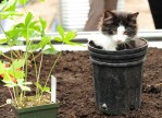 cat kitten in garden pot