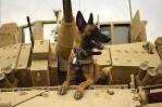 Belgian Shepherd Malinois military dog on tank