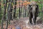 elephant walks beside dog in forest setting