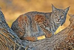 a bobcat takes refuge in a Joshua tree. Legislation is pending that would ban bobcat trapping near Joshua Tree National Park. More than 1,000 bobcats are trapped each year in California; 226 of the animals were trapped in San Bernardino County in the 2011-2012 fiscal year, according to state records. Photo Credit: David McChesney/CONTRIBUTED IMAGE