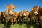 Cows Standing