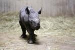Baby Black Rhino