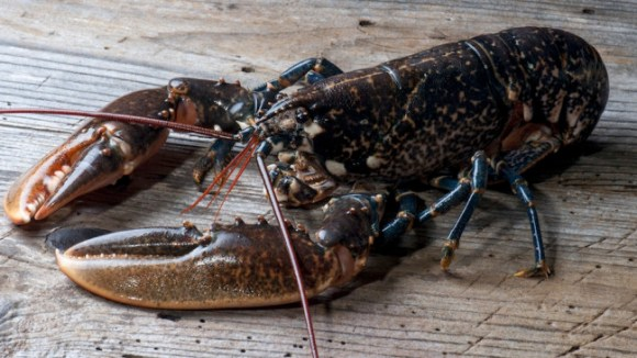 Some scientists believe lobsters are turning cannibal due to rising temperature changes. Photo Credit: Pieropoma, Shutterstock