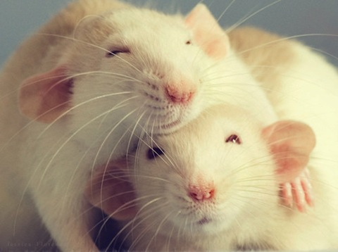 Rats laugh when they are tickled and during playtime. Photo credit: data.whicdn