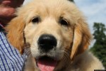golden retriever puppy closeup