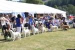 golden retriever festival dog show