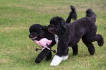 sunny and bo obama, white house dogs play
