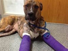 Dempsey is a mastiff-boxer mix from Indianapolis who was intentionally burned in a fire two years ago./Phote credit: NBC via Eileen Orban