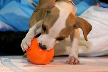 Thanks to the ASPCA's efforts the previously chained puppy is now busy doing what puppies are meant to do, chasing balls. Photo credit: ASPCA