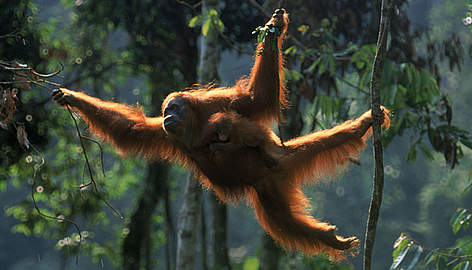 The survival of orangutans is being increasingly threatened by society's growing rate of palm oil consumption. Photo Credit: WWF
