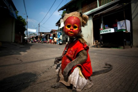 Atun, a trained monkey, takes part in a street performance on June 1, 2011 in Jakarta, Indonesia. The street performances usually involve the monkeys wearing masks, such as dolls' heads or attire to mimic humans, with the monkeys trained to act out human activities such as shopping, riding bicycles or other simulations of human behaviour. Photo Credit: foreignpolicy.com