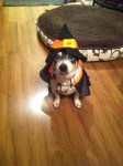 dog in witch halloween costume