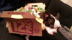 Boston Terrier dog as taco bell