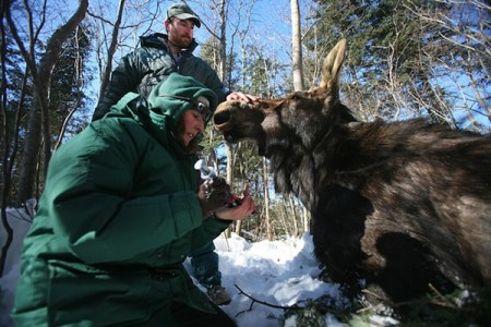 Veterinarian Tiffany Wolf takes a blood sample from a moose. Photo credit: Brian Peterson/Minneapolis Star Tribune