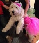 princess dog labradoodle in halloween pet costume