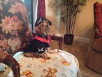 Bugsy yorkshire terrier dog in pirate halloween costume