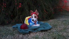 Kaimana is a 5-month-old Chihuahua and Dachshund mix dressed as Snow White.