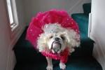 english bulldog honey boo boo dog halloween costume