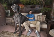 GIant George, World's Tallest dog, Great Dane sitting on couch