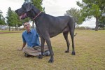 Giant George, the world's tallest dog and a Great Dane, with his guardian