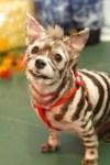 zebra dog pet halloween costume