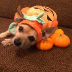 dog in pumpkin patch halloween costume