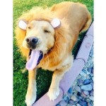 PET HALLOWEEN COSTUME, DOGS AND PUPPIES IN COSTUME, LION COSTUMES, large dog in lion costume