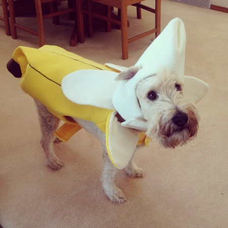 PET HALLOWEEN COSTUME, DOGS AND PUPPIES IN COSTUME, BANANA COSTUME, dog dressed as a banana for halloween