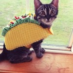 PET HALLOWEEN COSTUME, CATS AND KITTENS IN COSTUMES, TACO COSTUME, cat dressed as a taco for hallowen