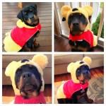 Paris Rottweiler dog as Winnie the Pooh