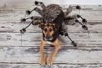 Riley dog in spider costume