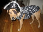Rodney pirate dog at Halloween