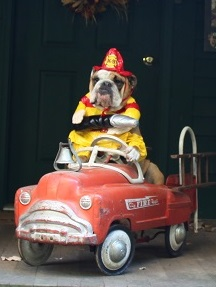 "Sophie the bulldog firefighter says, ""What? You never saw a lady firefighter before?"""
