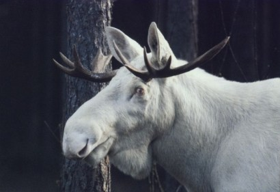 A rare albino moose, sacred to aboriginal people, was shot and killed by hunters in Nova Scotia. Photo Credit: huntdrop.com