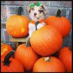 dog surrounded by pumpkins halloween pumpkin pet costume