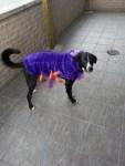 oreo dog purple spider halloween costume