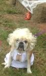 marilyn monroe dog bulldog halloween costume