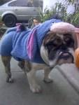 dog bulldog as eeyore halloween costume