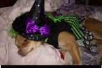 chihuahua dog witch halloween costume