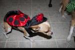 nala dog in ladybug costume
